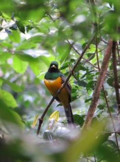Black-throated Trogon 3-20-2015